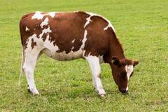 Krowy pasanie na łąkowym nabiale Zdjęcia Royalty Free