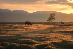 Krowy pasanie na jesieni polu na tle halny krajobraz i położenia słońce Fotografia Royalty Free