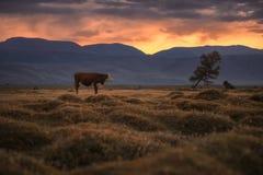 Krowy pasanie na jesieni polu na tle położenia słońce Fotografia Stock