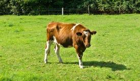 Krowy pasanie na zielonym śródpolnym jarmarku gospodarstwie rolnym Zdjęcia Stock