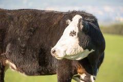 Krowy pasanie w Briones regionalności parka łąkach obraz royalty free
