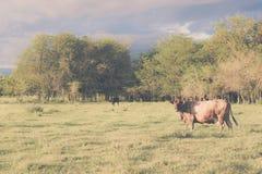 Krowy pasanie z tłem chmurnego nieba grożenie Obraz Royalty Free