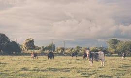 Krowy pasanie z tłem chmurnego nieba grożenie Fotografia Stock
