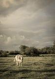 Krowy pasanie z tłem chmurnego nieba grożenie Obrazy Royalty Free