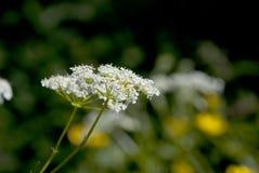 Krowy pietruszka, królowej Anne koronka/kwitniemy w lata słońcu Zdjęcia Stock