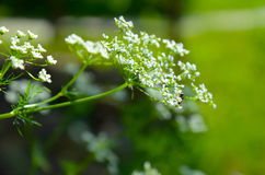 Krowy pietruszki Anthriscus sylvestris - biały lata pola kwiat Obraz Stock