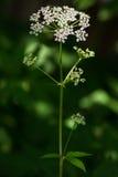 Krowy pietruszki kwiat (Anthriscus sylvestris) Obrazy Stock