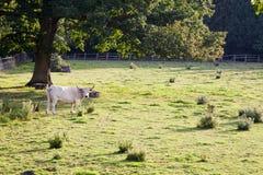 krowy pole Obraz Stock
