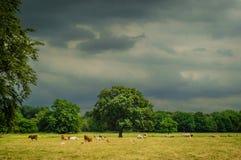 Krowy pole Zdjęcie Royalty Free