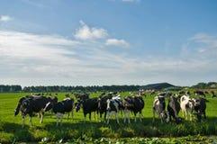 krowy pole Zdjęcia Stock