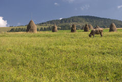 krowy pole pasa Obrazy Royalty Free