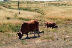 Krowy Portugalia Zdjęcia Stock