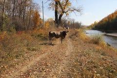 Krowy pozycja na riverbank Zdjęcie Royalty Free
