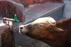 Krowy pragnienie Obraz Royalty Free