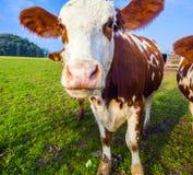 Krowy przy łąką Zdjęcia Stock
