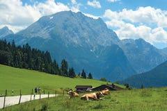 Krowy przy łąką przeciw błękitnym halnym wierzchołkom Zdjęcie Stock