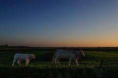 Krowy przy półmrokiem Zdjęcie Stock