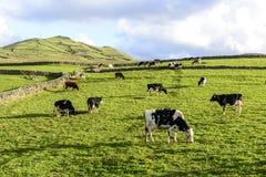 Krowy przy paśnikiem, Flores wyspa, Azorres archipelag (Portugalia) Zdjęcie Stock
