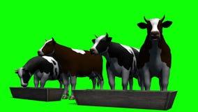 Krowy przy wodną synkliną - zielony ekran zdjęcie wideo