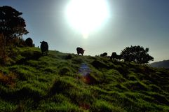 Krowy przychodzić do domu Obraz Royalty Free