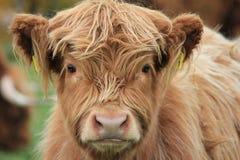krowy średniogórze Obrazy Stock