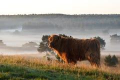 krowy średniogórze Obraz Royalty Free