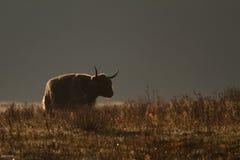 krowy średniogórze Zdjęcie Royalty Free