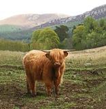 krowy średniogórze Scotland Obrazy Royalty Free