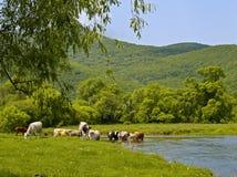 krowy rzeczne Fotografia Stock