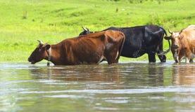 krowy rzeczne Zdjęcie Royalty Free