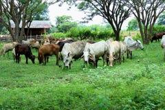 Krowy są zwierzętami Obrazy Royalty Free