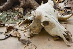 krowy ` s czaszka na podłoga Zdjęcia Royalty Free