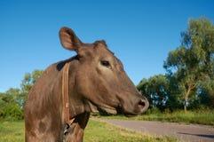 Krowy ` s głowa nad niebieskim niebem i zieloną trawą Zdjęcie Royalty Free