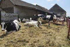 Krowy są odpoczynkowe Fotografia Royalty Free