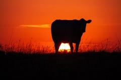 Krowy ` s silhouttte przy zmierzchem w łące Obraz Royalty Free