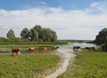 Krowy są w jeziorze Zdjęcie Stock