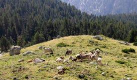 Krowy Siedzą na wzgórzu zdjęcie stock
