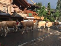 Krowy spaceruje w dół ulicę Obrazy Stock