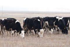 krowy stado zdjęcia stock
