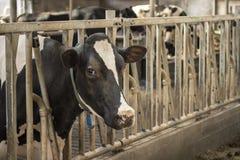 Krowy stajni mleka łasowania trawa karmił bydło nabiału uprawiać ziemię obrazy stock