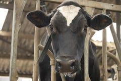 Krowy stajni mleka łasowania trawa karmił bydło nabiału uprawiać ziemię zdjęcie stock