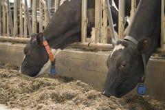 Krowy stajni mleka łasowania trawa karmił bydło nabiału uprawiać ziemię fotografia stock