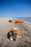 Krowy sunbathing Zdjęcia Royalty Free