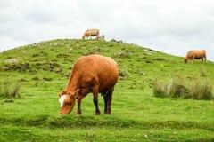 krowy szkockie Fotografia Stock