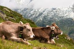 krowy szwajcarskie Zdjęcia Royalty Free