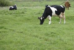krowy target1928_1_ zieloną łąkę zdjęcie stock