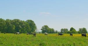 krowy target1928_1_ zieloną łąkę zdjęcie wideo
