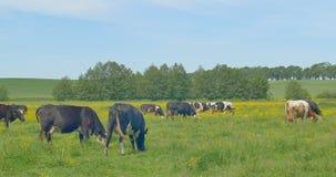 krowy target1928_1_ zieloną łąkę zbiory