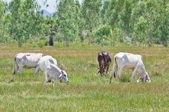 krowy target3518_1_ trawy obrazy stock