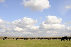 krowy target462_1_ trawy Obrazy Royalty Free